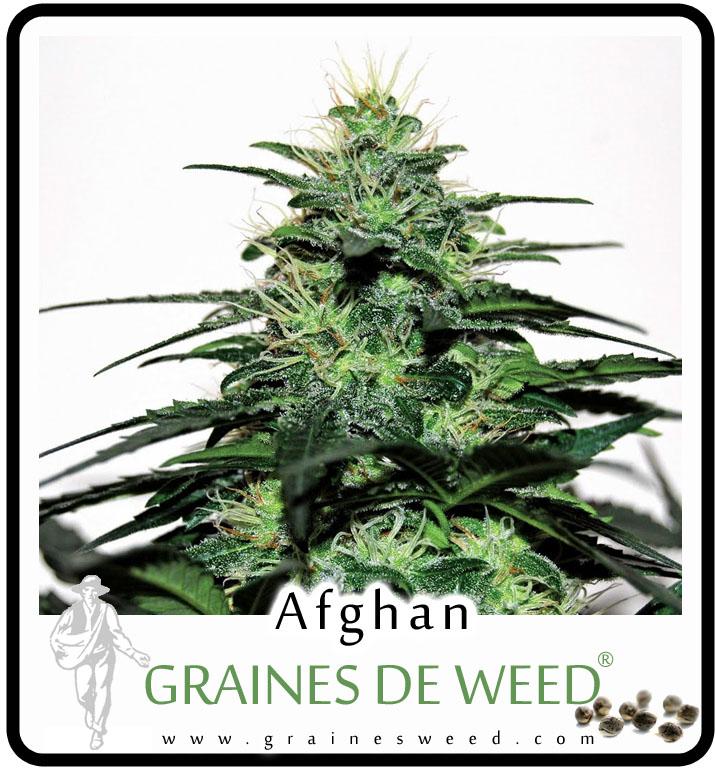 Afghan kush exterieur afghan kush marijuana strains for Exterieur weed