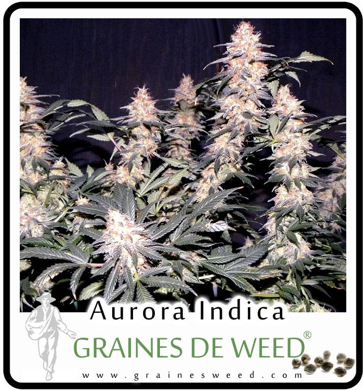 Cette variété hybride de cannabis est un mélange de cultivar Afghan weed et de Northern Lights.