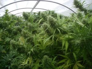 Récolte énorme cannabis