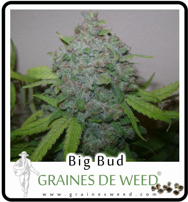 Graines de Big Bud Cannabis pas chères