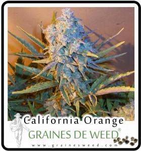 La variété Orange Bud a été sélectionnée pour la douceur de son arôme et de son goût d'orange.