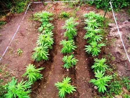 Serres et terrains extérieurs – Graines de Weed