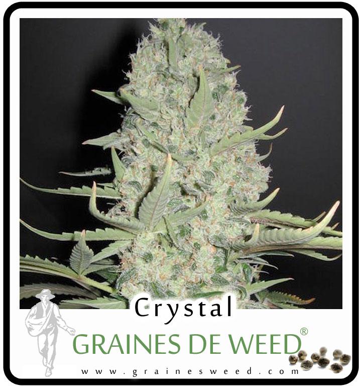 Graines de Crystal Cannabis