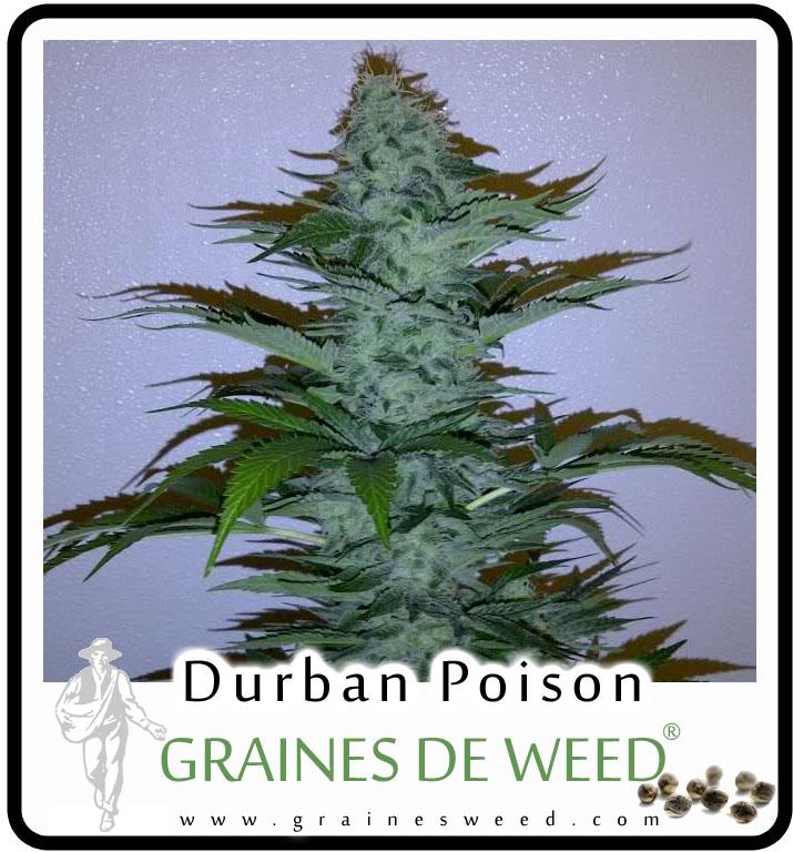 Durban poison graines de weed for Graines de cannabis exterieur