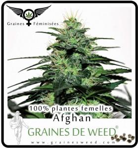 Graines feminisées de Cannabis