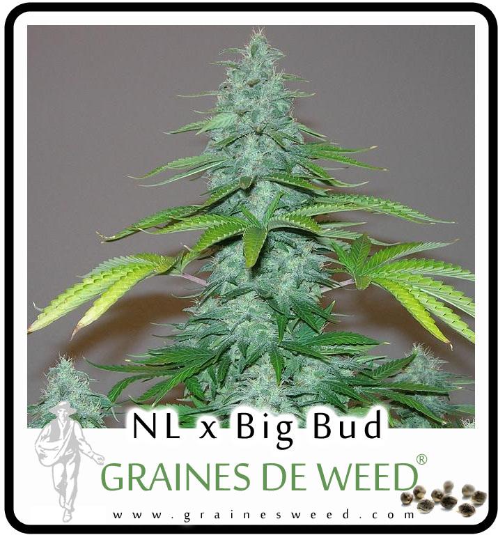 Graines de cannabis mêle la puissance extrême de la Northern Lights avec le rendement outrancier de la Big Bud
