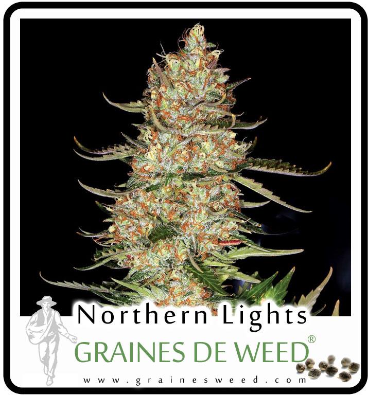La Northern Lights a toujours été une plante extrêmement gratifiante pour les cultivateurs de marijuana en intérieur, mais elle peut également être cultivée en pleine terre sous des climats méditerranéens.