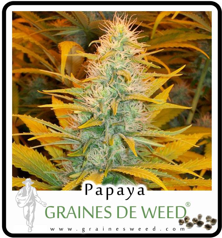 La Papaya est une Indica lourde et collante qui reste courte et dense, se révélant particulièrement productive lorsque sa floraison est activée par la technique de la Sea of Green (Mer de vert).