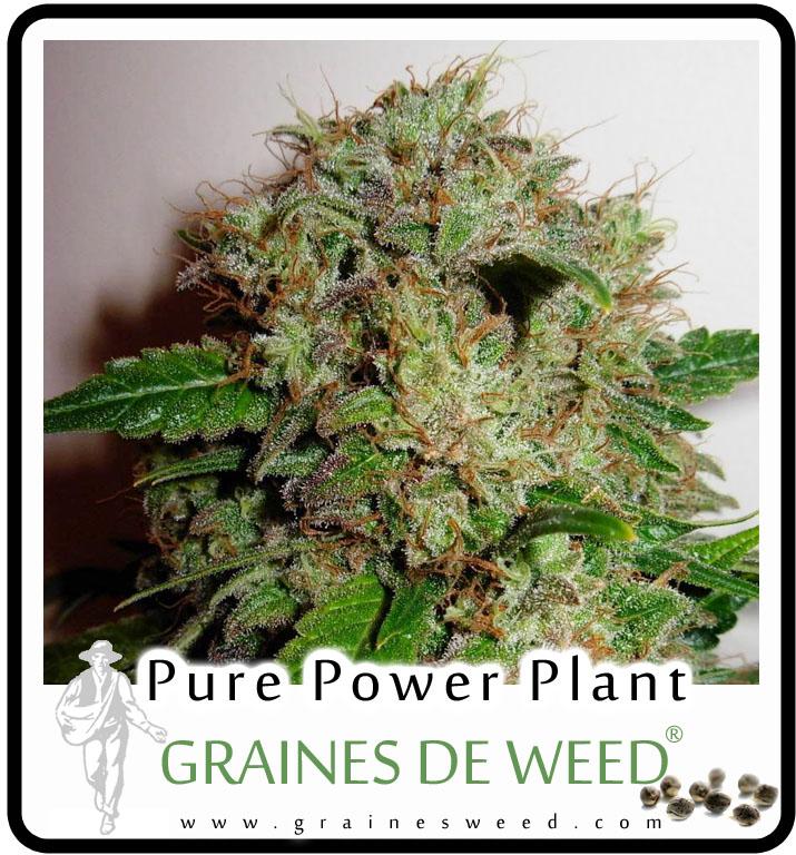 Le potentiel de croissance extraordinaire de cette plante de cannabis est un exemple excellent de vigueur hybride