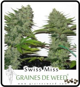Cannabis pour l'extérieur: Swiss Miss Cannabis peut supporter des écarts de température importants entre journées chaudes et nuits froides.