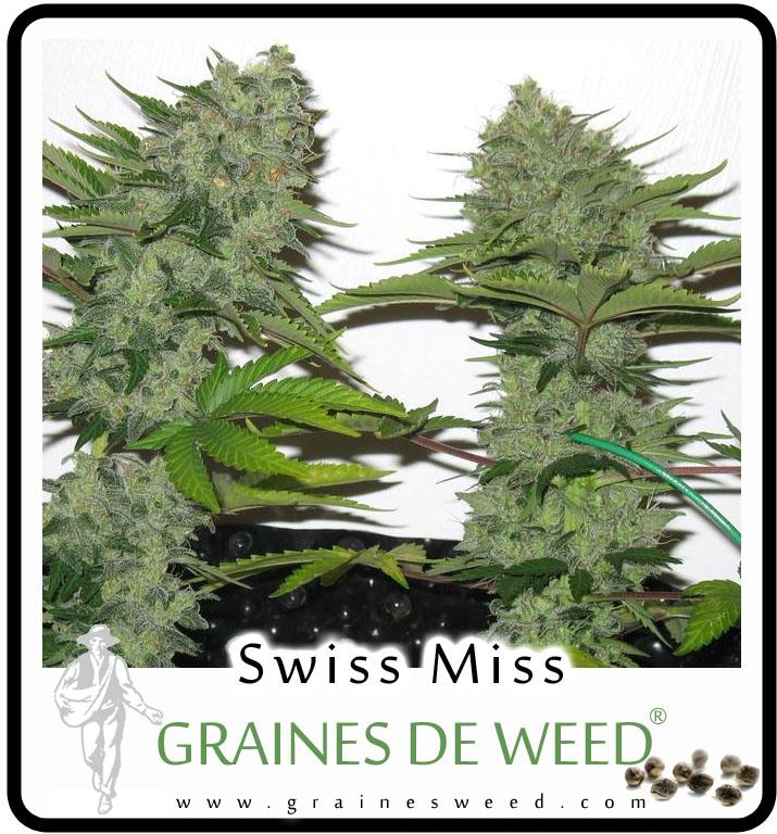 Swiss miss graines de weed for Graine de weed exterieur