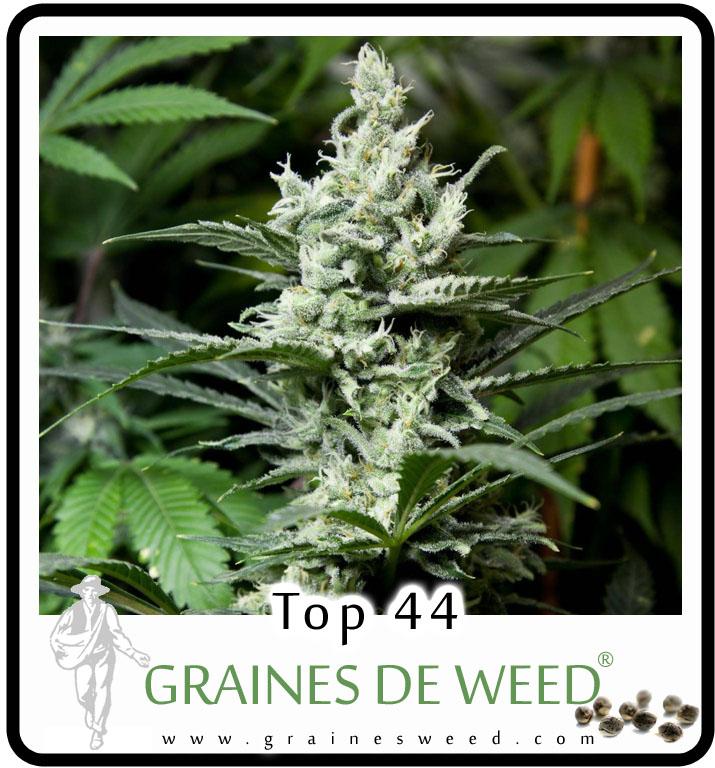 Top 44 Cannabis est une plante puissante, robuste, facile à faire pousser.