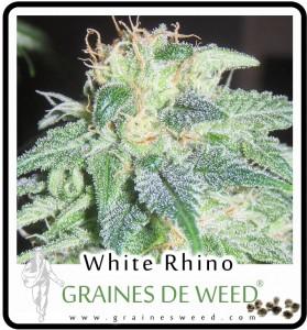 La White Rhino est encore plus dense et compact que sa mère la White Widow.