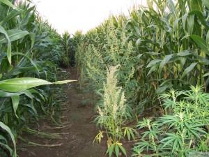 Weed plantation a cote du mais