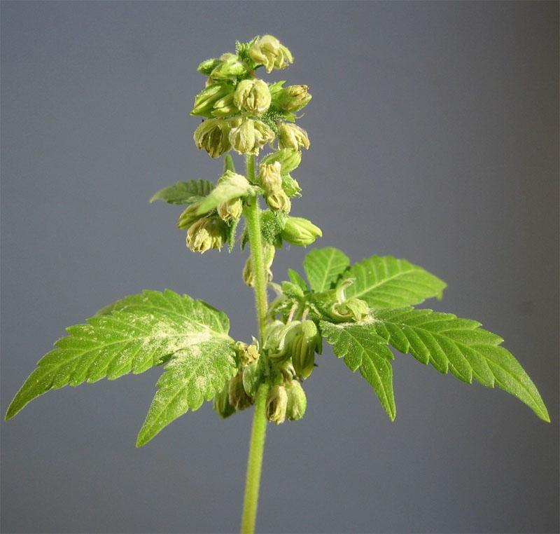 Plante de marijuana m le ou femelle graines de weed for Plant de cannabis exterieur