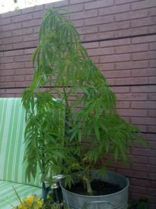 Cannabis Sativa en fleur