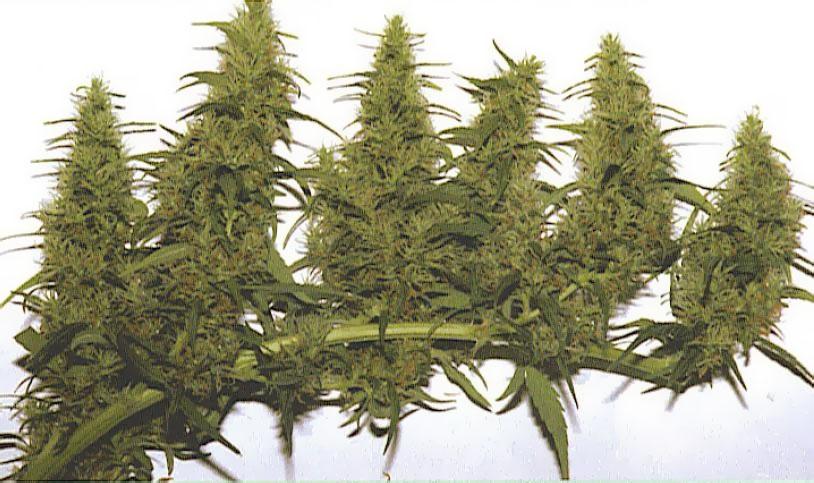 Le subterfuge graines de weed for Serre pour cannabis interieur