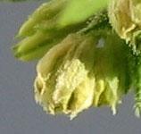 Une simple fleur mâle cannabis