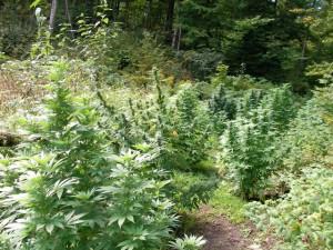 Plantes de cannabis en extérieur