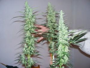 la floraison de la weed
