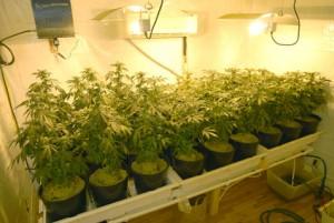 Jardin de marijuana interieur