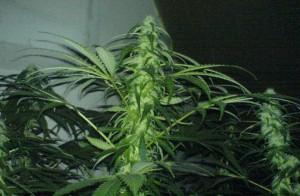 Le cannabis pendant période d'obscurité