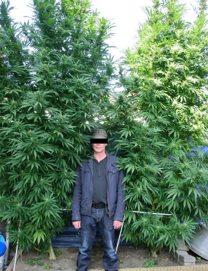 Plante de weed exterieur tres grande