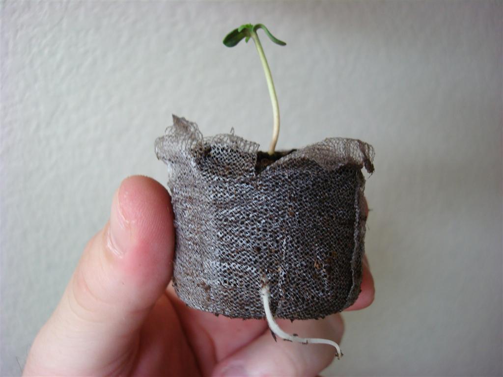 petits pots et r cipients pour d marrer les plantes graines de weed. Black Bedroom Furniture Sets. Home Design Ideas
