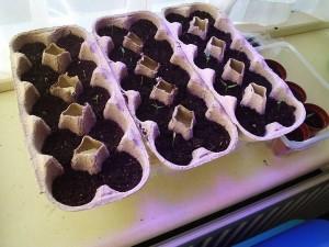 boîtes à oeufs sont ideale pour la germination de graines de cannabis