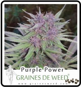 Purple Haze assure un excellent rendement de têtes résineuses pour une durée de floraison relativement courte.