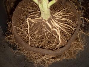 Les racines du cannabis