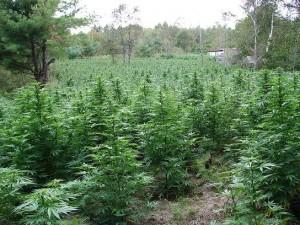 Préparation du sol pour culture de cannabis en extérieur