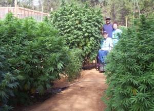 Plante énorme cannabis