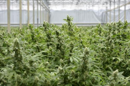 Le cannabis dans les serres