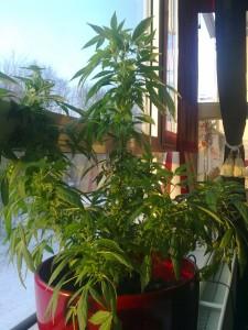 Un problème fréquent qui arrive avec les jardins à fenêtres commencés en hiver est que en automne, quand les plantes fleurissent, la lumière est faible, et seulement une partie de chaque plante pourrait être éclairée.