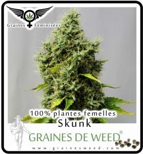 Graine cannabis femelle pas cher