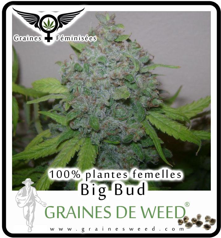 Graines Femelles de Marijuana BIG BUD