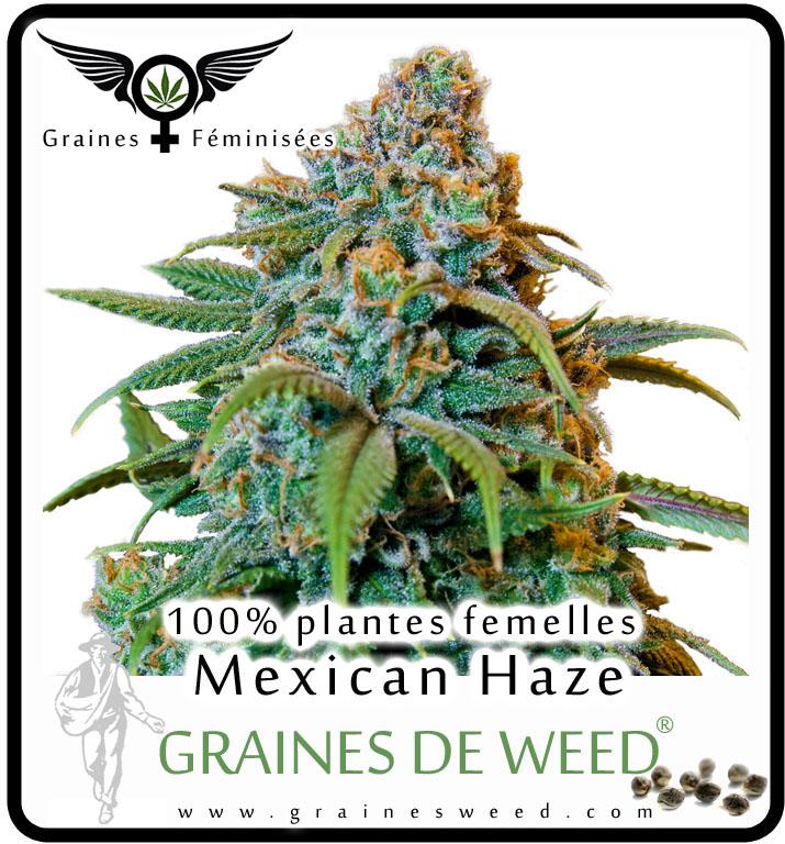 Graines femelles haze cannabis