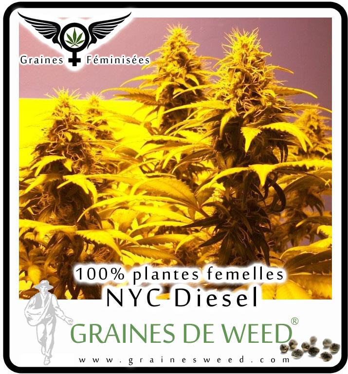 Graines Femelle NYC Diesel Weed