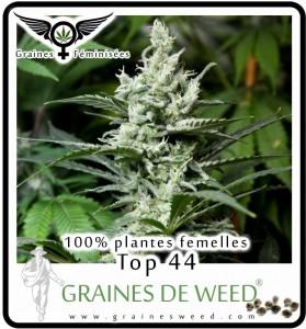 Cannabis femelle: graines de Top44
