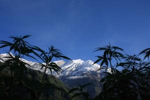 Weed de Népal