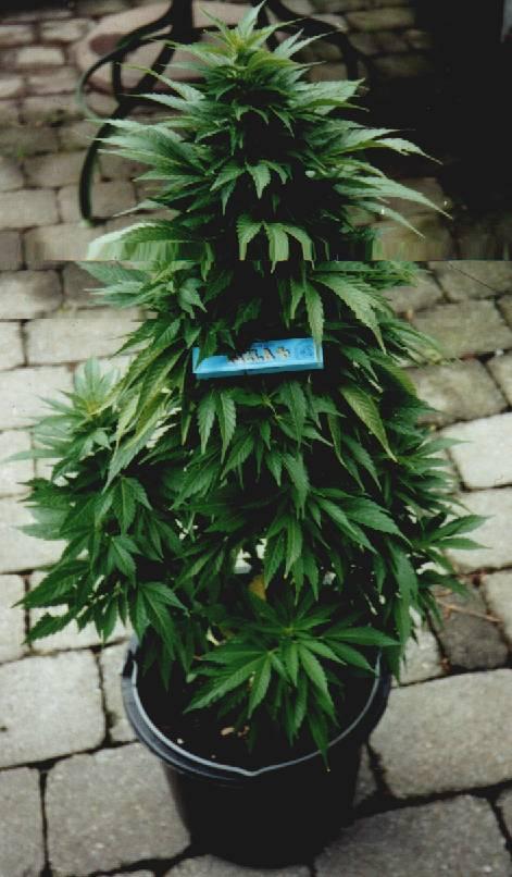 La cultivation de Cannabis Ruderalis