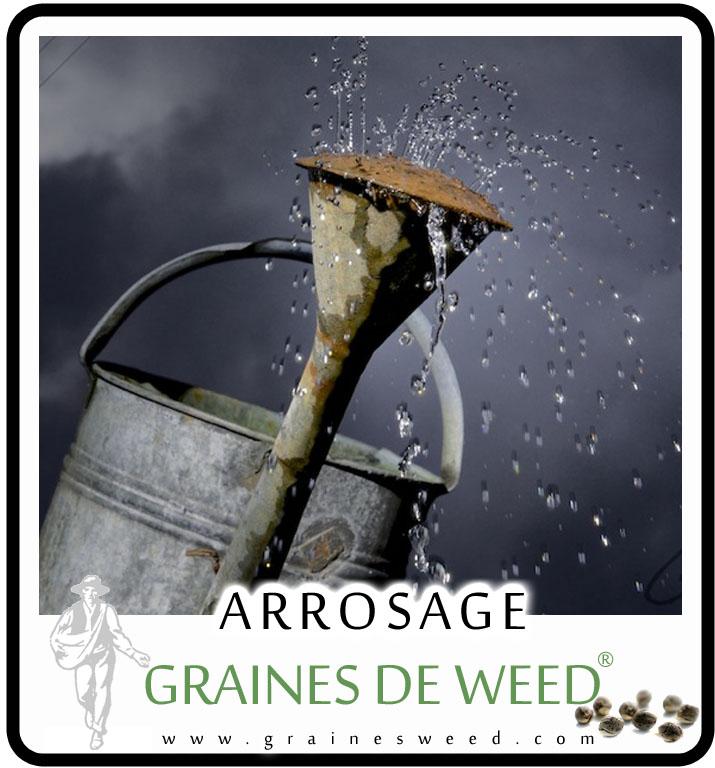 Arroser avec de l'eau de pluie est excellente pour faire pousser le cannabis