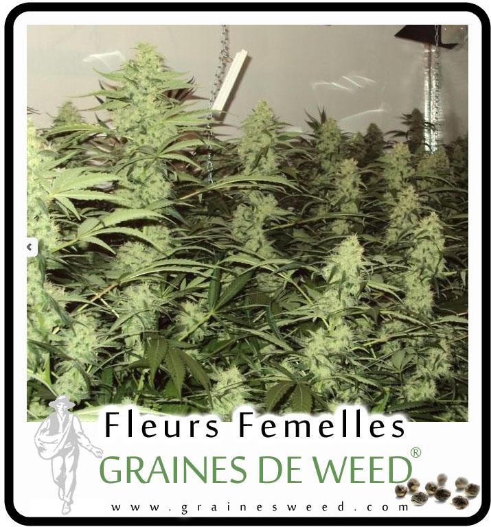 Les fleurs de cannabis graines de weed - Comment couper orchidee apres floraison ...