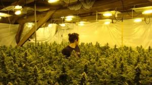 cannabis-hydrophonique