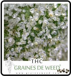 cannabis-plus-puissante