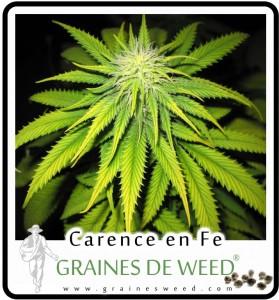 La déficience, carence en fer commence sur le haut des pousses de la plante de marijuana