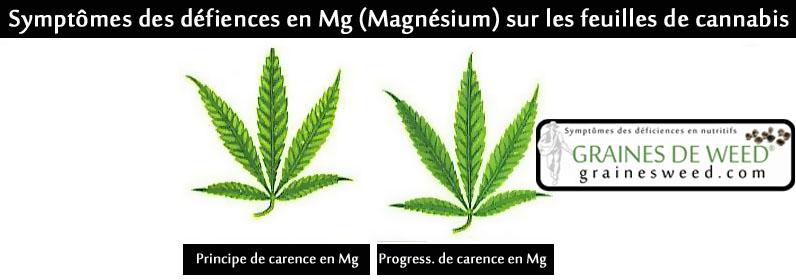 Les symptômes de la carence en Mg, Magnésium commencent au pied de la plante mais progressent souvent aussi vers les pousses et feuilles croissantes.