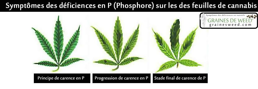 La carence en phosphore (P) n'est pas commune aux plantes dans toute mixture de terre décente ou jardin hydroponique.