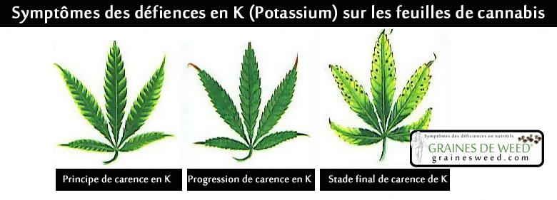 Les symptômes de déficience en K commencent au pied de la plante, où vous verrez des zones jaunies